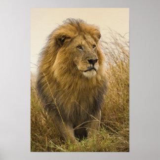 León crinado del negro del viejo adulto, juego de  póster