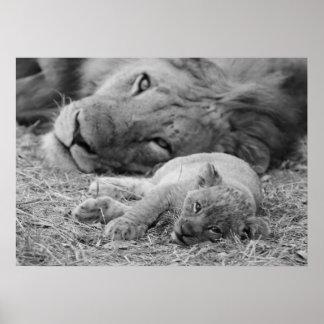 León Cub lindo que descansa con el padre Póster