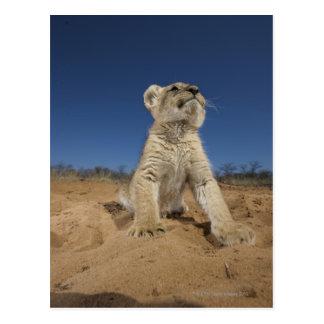 León Cub (Panthera Leo) que se sienta en la arena, Tarjetas Postales