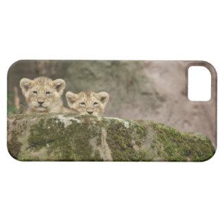 León Cubs que mira a escondidas sobre roca iPhone 5 Fundas