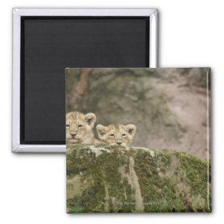 León Cubs que mira a escondidas sobre roca Iman