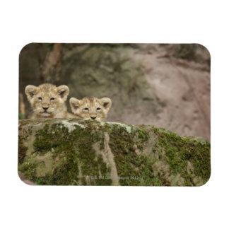 León Cubs que mira a escondidas sobre roca Imán