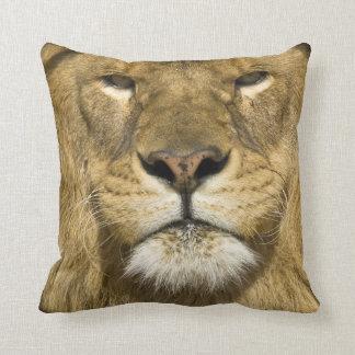 León de Barbary del africano, Panthera leo leo, un Almohada