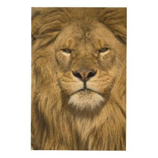 León de Barbary del africano, Panthera leo leo, un Cuadros De Madera