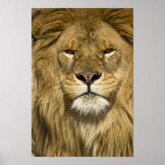 León de Barbary del africano, Panthera leo leo, un Poster