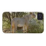 león de la leona, Panthera leo, Kgalagadi iPhone 4 Carcasas