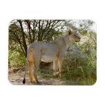 león de la leona, Panthera leo, Kgalagadi Imanes De Vinilo
