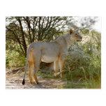 león de la leona, Panthera leo, Kgalagadi Postal