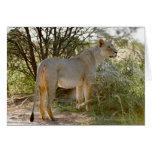 león de la leona, Panthera leo, Kgalagadi Felicitación