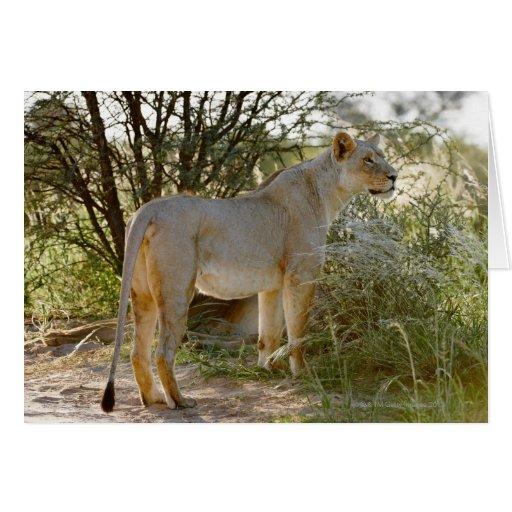 león de la leona, Panthera leo, Kgalagadi Tarjeta De Felicitación