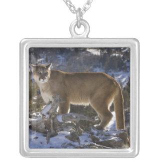 León de montaña, aka puma, puma; Concolor del Collar Plateado