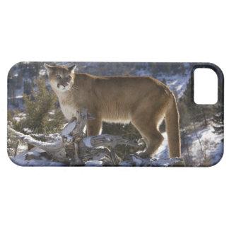 León de montaña, aka puma, puma; Concolor del iPhone 5 Fundas