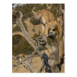 León de montaña, aka puma, puma; Concolor del Postal