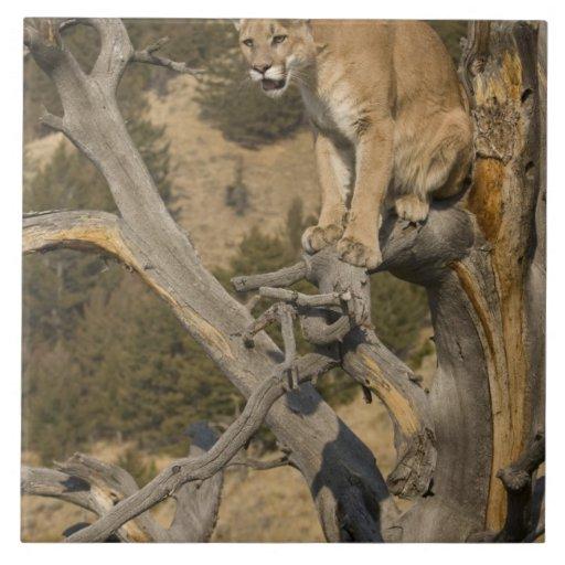 León de montaña, aka puma, puma; Concolor del puma Tejas Ceramicas
