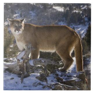 León de montaña, aka puma, puma; Concolor del puma Azulejo Cuadrado Grande