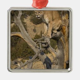 León de montaña aka puma puma Concolor del puma Adorno