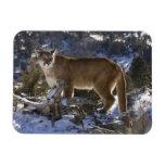 León de montaña, aka puma, puma; Concolor del puma Imán