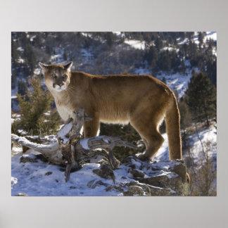 León de montaña, aka puma, puma; Concolor del puma Impresiones