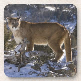 León de montaña, aka puma, puma; Concolor del puma Posavasos