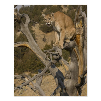 León de montaña, aka puma, puma; Concolor del puma Póster