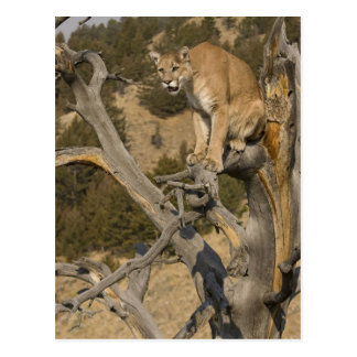 León de montaña, aka puma, puma; Concolor del puma Postal