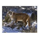 León de montaña, aka puma, puma; Concolor del Tarjetas Postales