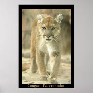 León de montaña - concolor del Felis Póster