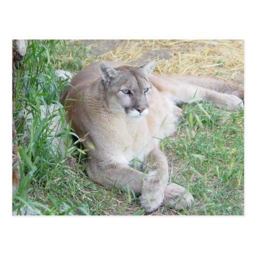 León de montaña de Montana - modificado para Postal