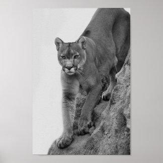 León de montaña en blanco y negro póster