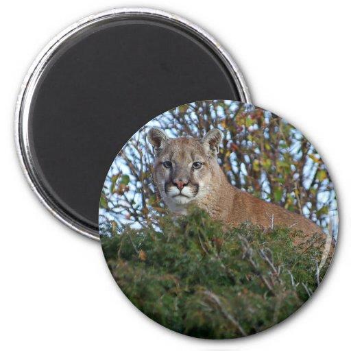 León de montaña en el puesto de observación imanes de nevera
