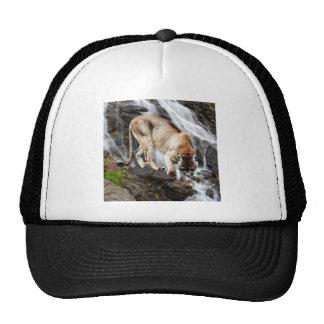 León de montaña en la cascada gorra