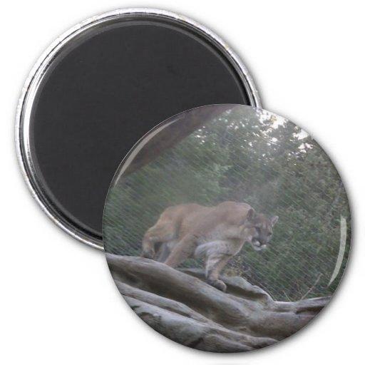 León de montaña imán redondo 5 cm