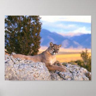 León de montaña impresiones