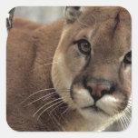 León de montaña que pega una actitud calcomania cuadradas personalizada