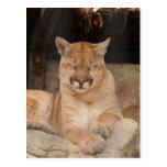 León de montaña tarjetas postales