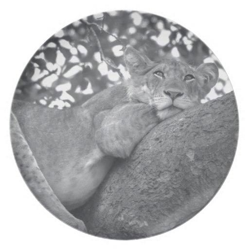 León de reclinación surafricano plato de cena