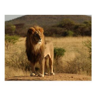 León de Serengeti Postales