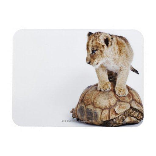 León del bebé que se coloca en la tortuga, fondo b imán foto rectangular