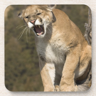 León del puma o de montaña, concolor del puma, cau posavasos de bebida