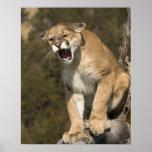 León del puma o de montaña, concolor del puma, cau póster