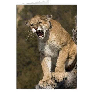 León del puma o de montaña, concolor del puma, cau tarjeta de felicitación