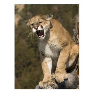 León del puma o de montaña, concolor del puma, tarjeta postal