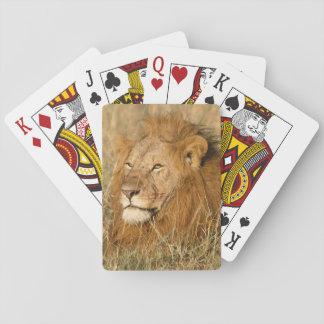 León del varón adulto en la primera luz barajas de cartas