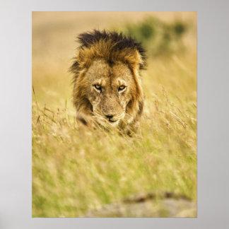 León del varón adulto, Panthera leo, Masai Mara, K Poster