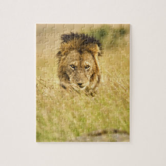 León del varón adulto, Panthera leo, Masai Mara, K Puzzles