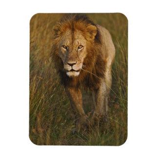 León del varón adulto que camina a través de pista imán de vinilo