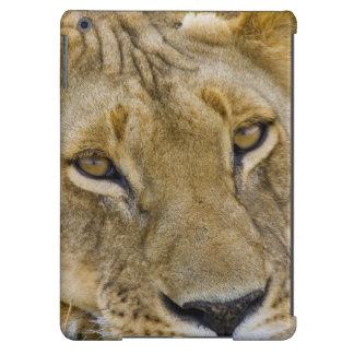 León en el cepillo, descansando en el fragor de funda para iPad air