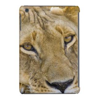 León en el cepillo, descansando en el fragor de funda de iPad mini