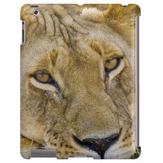 León en el cepillo, descansando en el fragor de funda para iPad