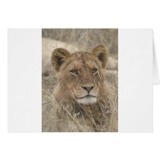 León en el parque nacional de Kruger Tarjeta De Felicitación